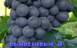 Виноград Черныш: что нужно знать о нем, описание сорта, отзывы