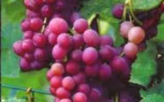 Виноград Эйнсет Сидлис: что нужно знать о нем, описание сорта, отзывы
