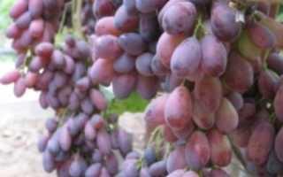 Виноград Ася: что нужно знать о нем, описание сорта, отзывы