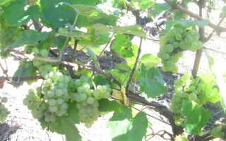 Виды винограда для вина