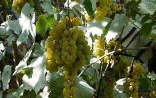 Подкормка винограда корневая и вне корневая