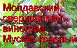 Виноград Сверхранний красный мускат: что нужно знать о нем, описание сорта, отзывы