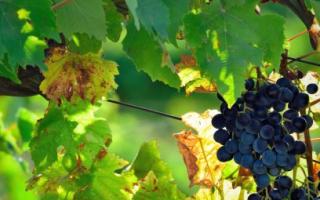 Сорт винограда Кубань: что нужно знать о нем, описание сорта, отзывы