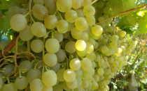 Виноград Краса севера (Ольга): что нужно знать о нем, описание сорта, отзывы