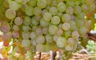 Сорт винограда Коринка русская: что нужно знать о нем, описание сорта, отзывы