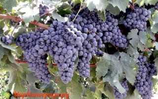 Виноград Одесский черный (Алиберне): что нужно знать о нем, описание сорта, отзывы