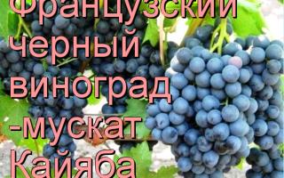 Виноград Мускат черный: что нужно знать о нем, описание сорта, отзывы