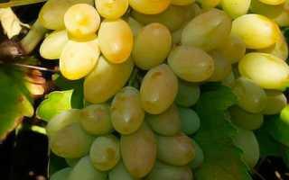 Сорт винограда Фрумоаса албэ: что нужно знать о нем, описание сорта, отзывы