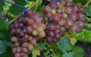 Виноград Ромулус: что нужно знать о нем, описание сорта, отзывы
