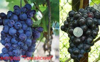 Виноград Томайский: что нужно знать о нем, описание сорта, отзывы