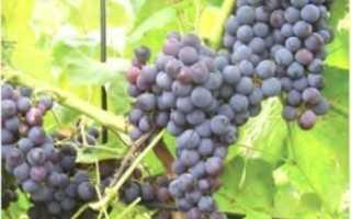 Виноград Буффало: что нужно знать о нем, описание сорта, отзывы