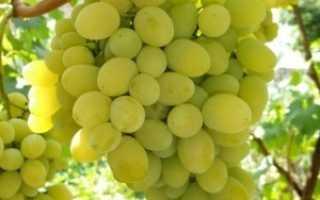 Сорт винограда Болгария: что нужно знать о нем, описание сорта, отзывы