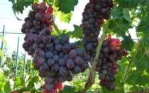 Виноград Сокол: что нужно знать о нем, описание сорта, отзывы