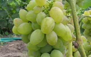 Виноград Восторг овальный: описание сорта с фото, отзывы, посадка и уход