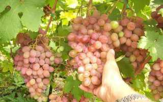 Сорт винограда Румба: что нужно знать о нем, описание сорта, отзывы